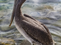 IMGL0988-Brown-Pelican